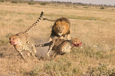 Lion Hunting Photo