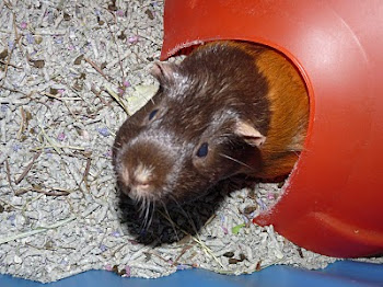 Brownie - Our Guinea Girl