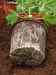 cultivo de cannabis em casa de forma facil