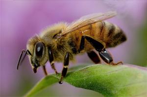 Interesting news of Honey Bee – Pesum Noolagam