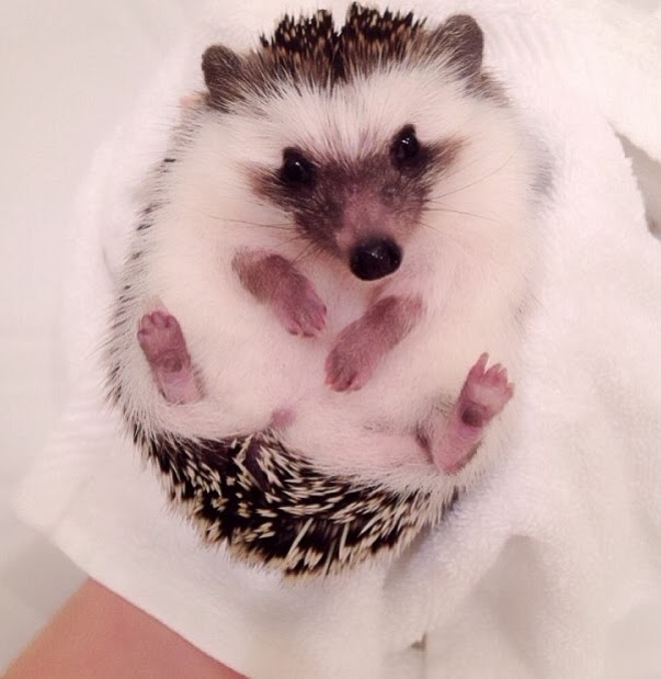 Funny animals of the week - 17 January 2014 (40 pics), hedgehog after bath