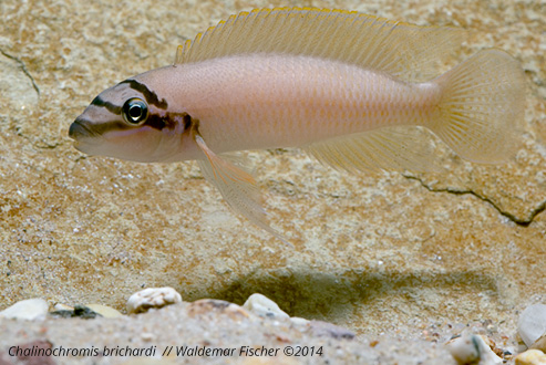 Stock Fotos Chalinochromis brichardi by Waldemar Fischer