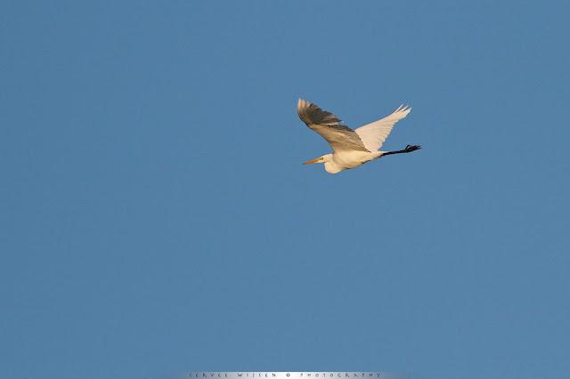 Grote Zilverreiger - Great White Egret - Ardea alba
