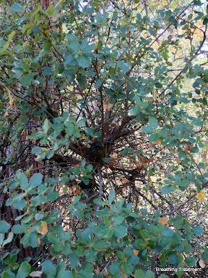 possibly Quercus berberidifolia (inland scrub oak, scrub oak) or Quercus dumosa (Nuttall's scrub oak, coastal sage scrub oak, scrub oak)