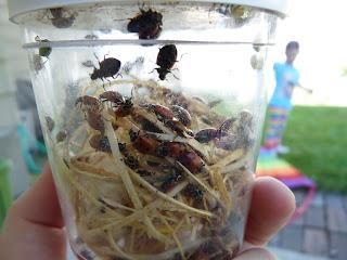 ladybug release