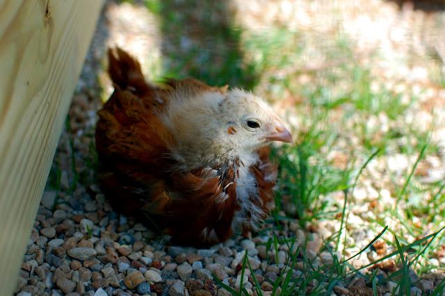 Chickens, Coop, chicks, backyard chickens,