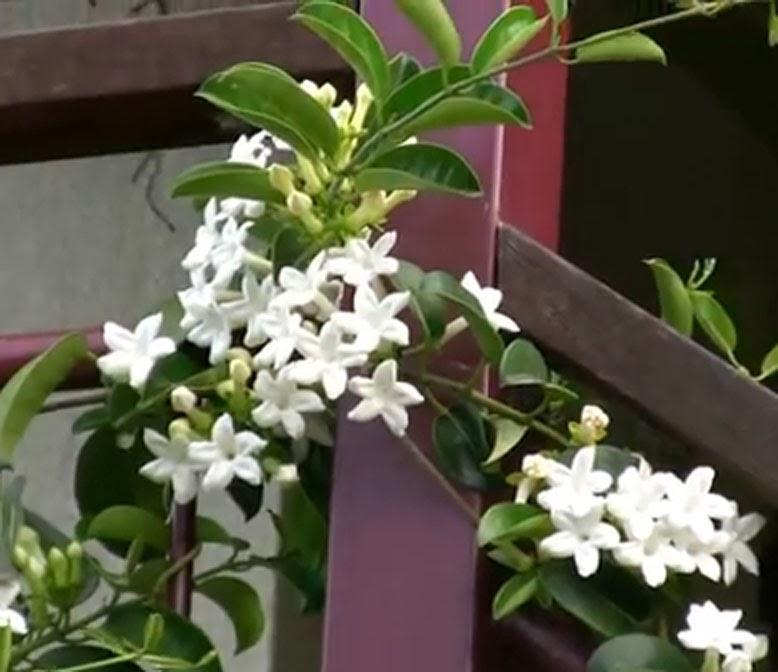arbustosensevilla-encinarosa: jazmín de madagascar / stephanotis