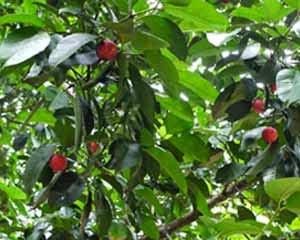 Malabar Tamarindo emagrece