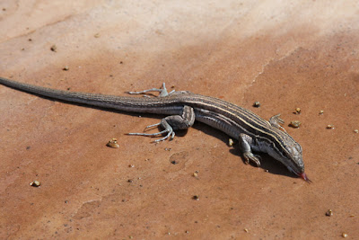 Arizona Whiptail Lizard drinking water off stone photo by Jennifer Kistler copyright 2013