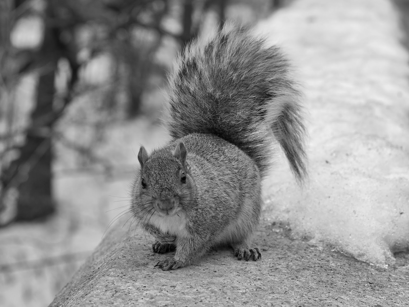 I Work for Nuts #squirrel #Squirrels #wildlife #NYC #RiversidePark ©2015 Nancy Lundebjerg