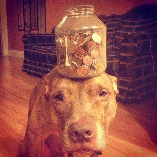 Scout the pit bull balances stuff on his head (30 pics), stuff on Scout's head, scout balances a jar of coins