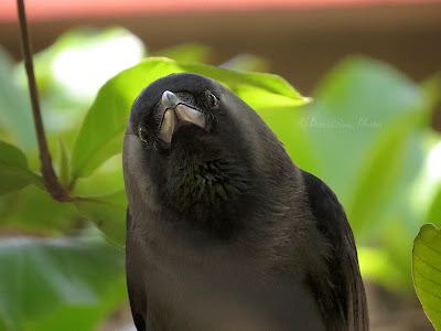 Crow looking at you...