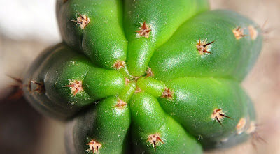Undamaged, bright green new San Pedro growth