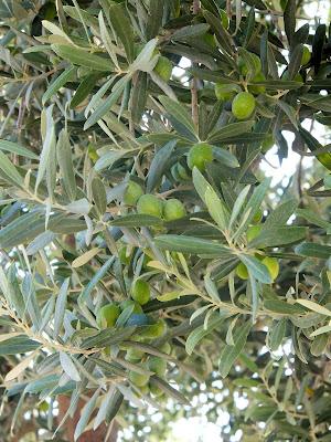 Зеленые оливки на ветке дерева