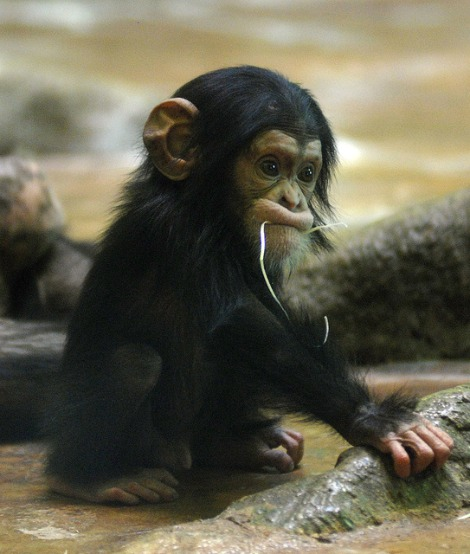 baby animals, cute animals, baby chimpanzee