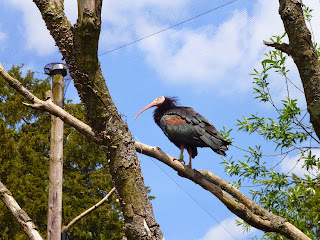 ibis in a tree Marwell Zoo