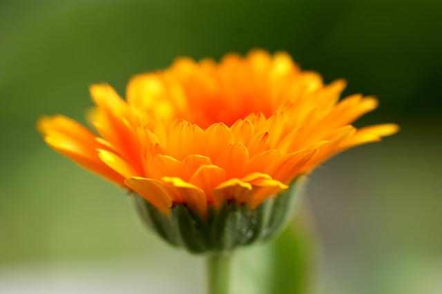 Il mondo in un giardino il fiore del sole e delle lacrime si trova facilmente nei prati incolti o ai bordi delle strade ed facilmente individuabile per il suo colore sgargiante e la sua forma a margherita thecheapjerseys Choice Image
