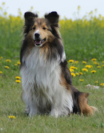 Såbys Shelties Smiling Sandy