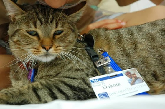 Dakota, Kucing Yang Menjadi Dokter Rumah Sakit di Texas