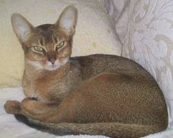 abyssinian adoption