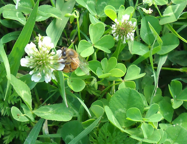 White Clover with a honey bee at White Rock Lake, Dallas, Texas