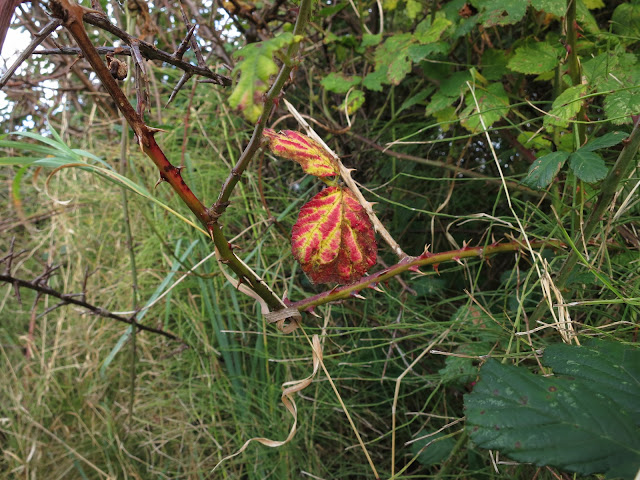 Red and yellow stripes on two blackberry leaves.