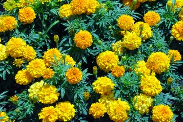Marigold as a Mosquito Repellent