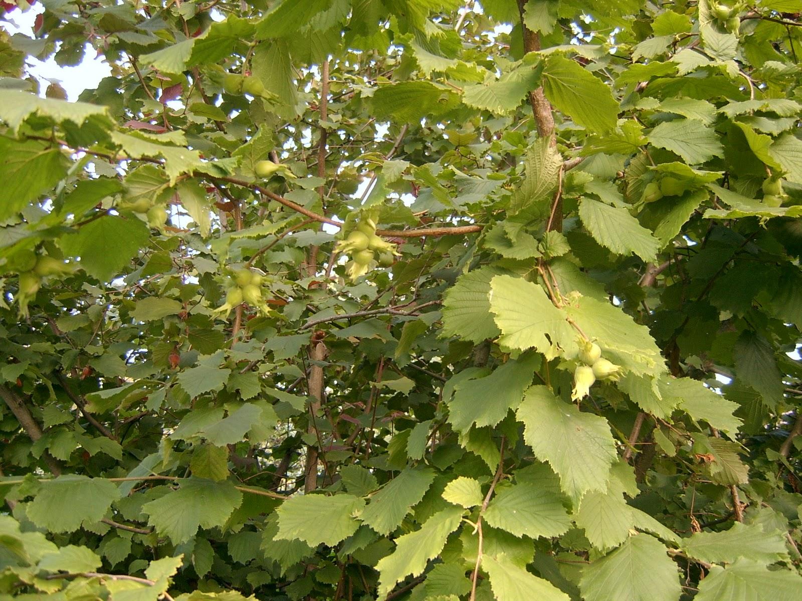 Орехи в Сибири. Лещина, или фундук - Сад Особенности выращивания фундука 70