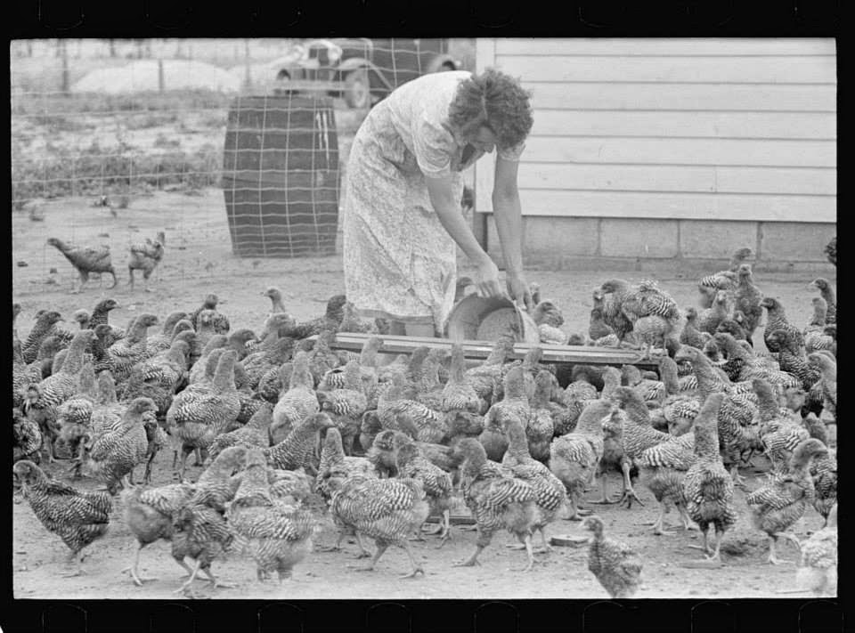 old time chicken tending
