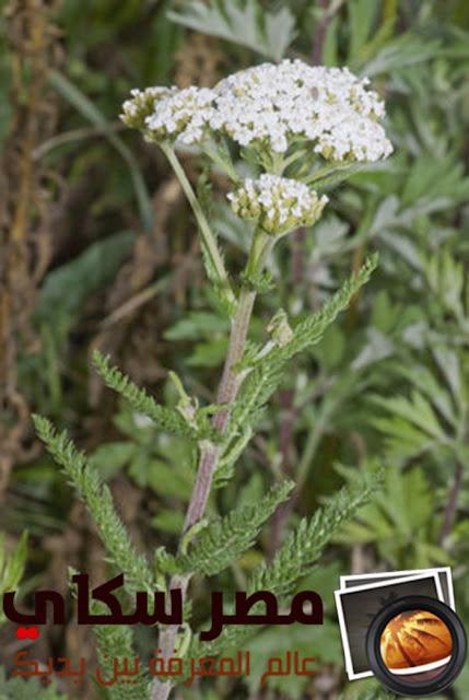 تعرف على الإستعمال الطبى لنبات أم الألف ورقة ( حشيشة النجارين )Achillea Millefolium L