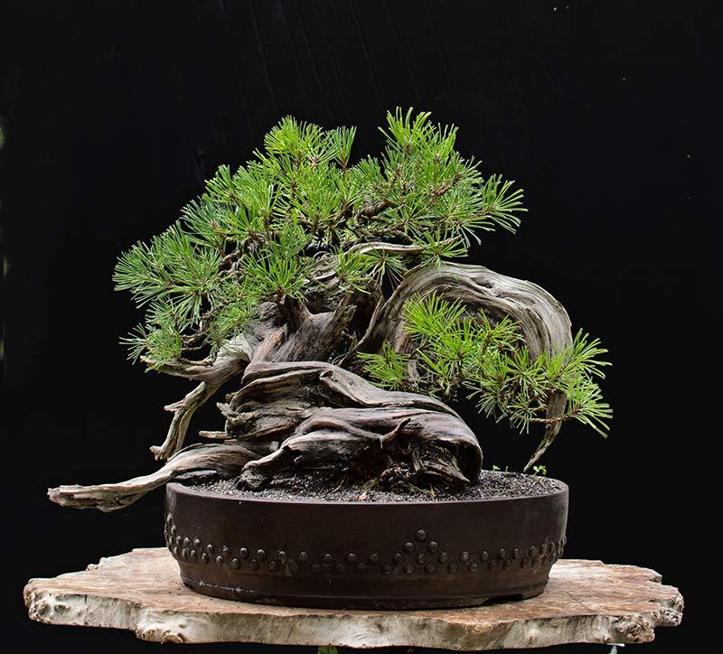 walter pall bonsai adventures mugo pine 32. Black Bedroom Furniture Sets. Home Design Ideas