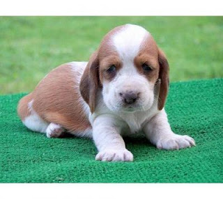 Basset Hound Puppy Picture