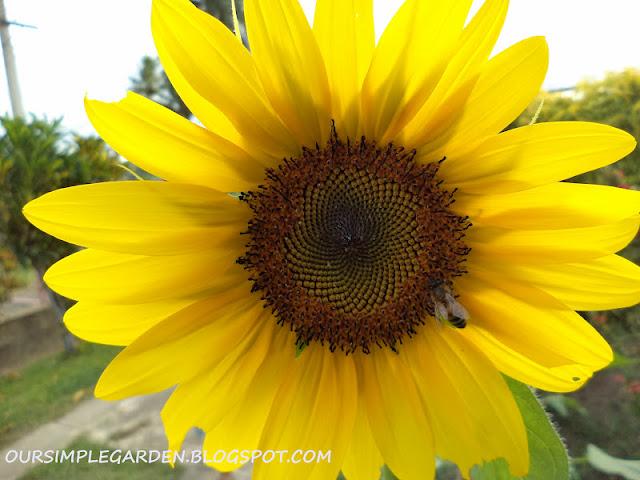 oursimplegarden-sunflower