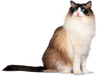 ragdoll cats kitten pussycat gato macska breeds picture animal pets