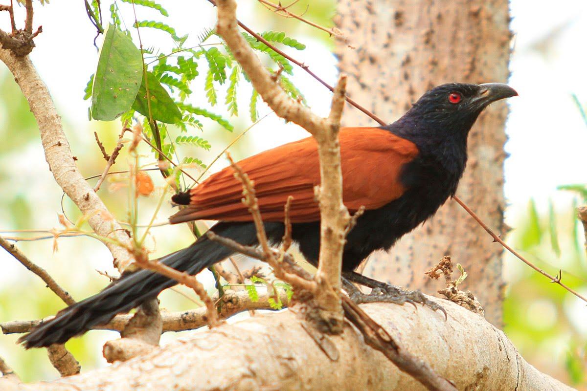นกกระปูดตาแดง