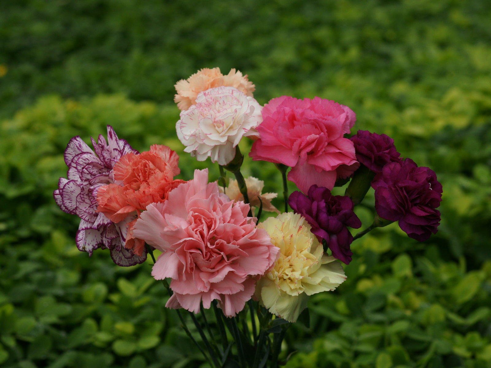 Carnations Flowers Herbal supplements too For Body system Life Is Beautiful