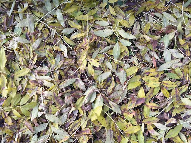 Ash leaf-fall.  Hayes, 4 November 2015.