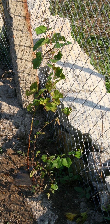 Vines growing well