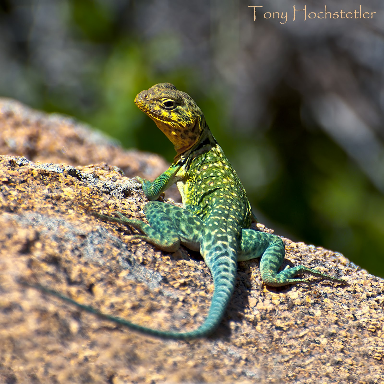 Oklahoma Lizards Pictures http://tonyhochstetler.blogspot.com/2012/04/collared-lizard.html