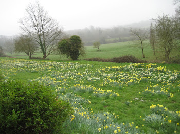 Daffodils at Battle (near Hastings)