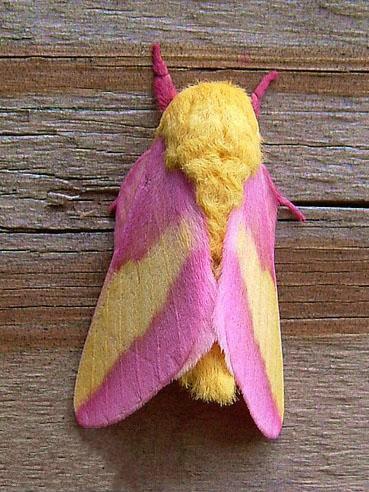 ملكة جمال الحشرات