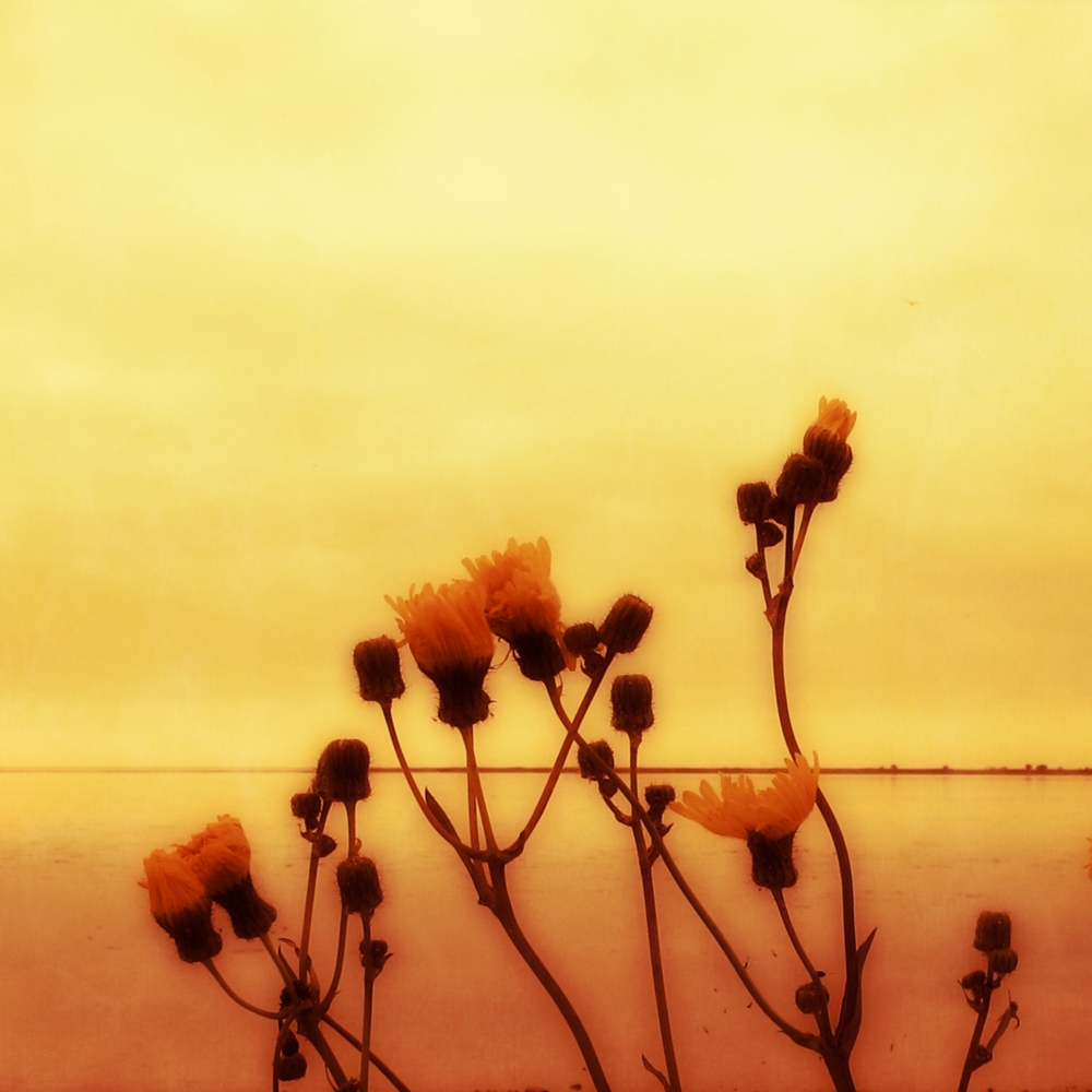 photo of camomile flowers on the Baltic Sea by susan wellington