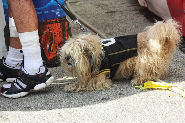 Lion looking dog wearing Steelers jersey