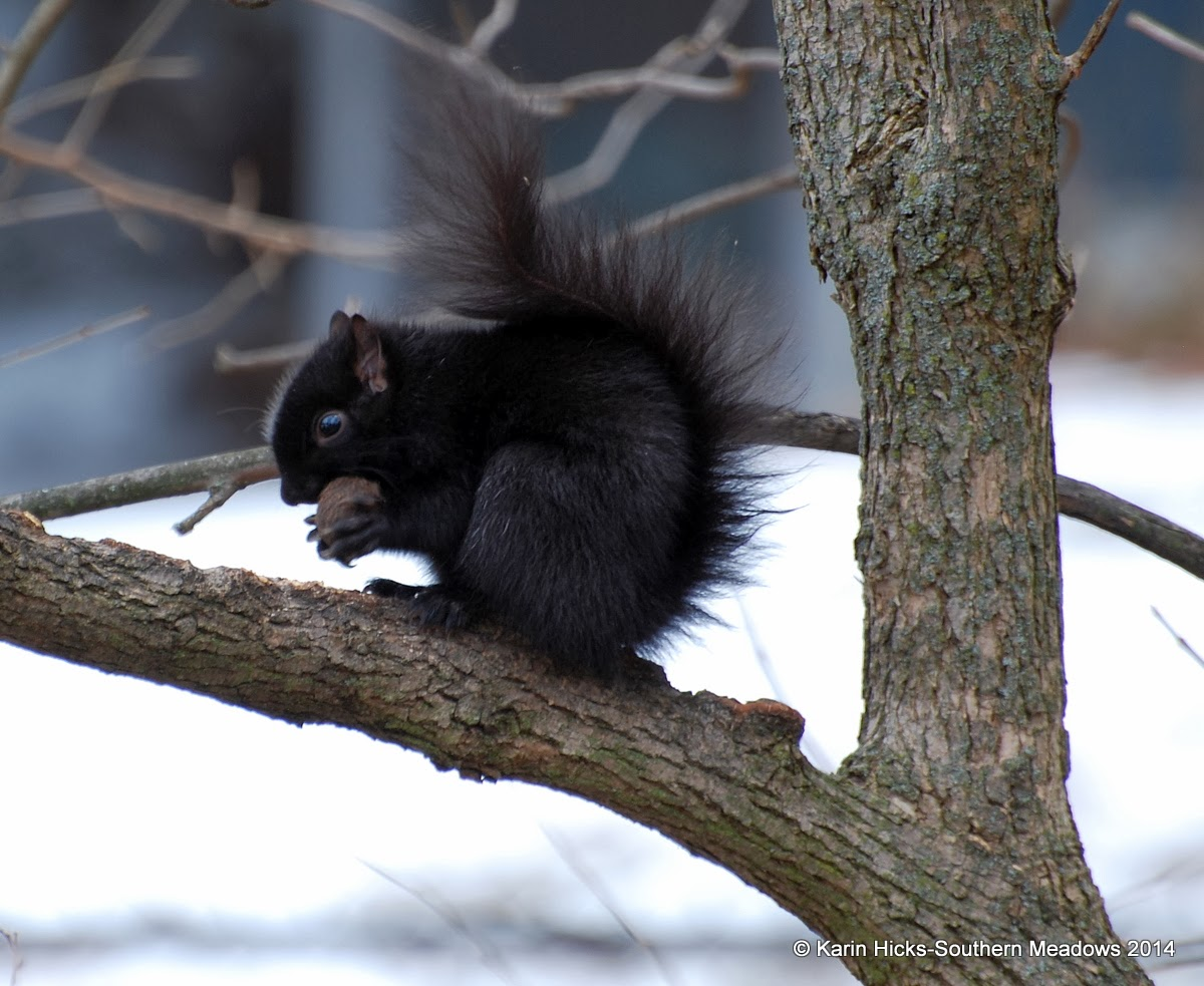 black squirrel eating walnut