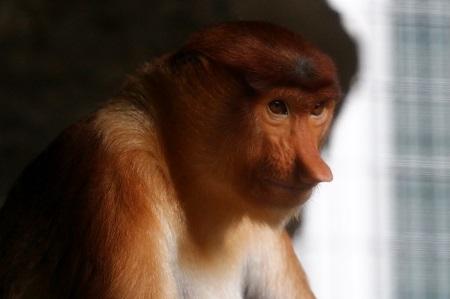 Proboscic Monkey
