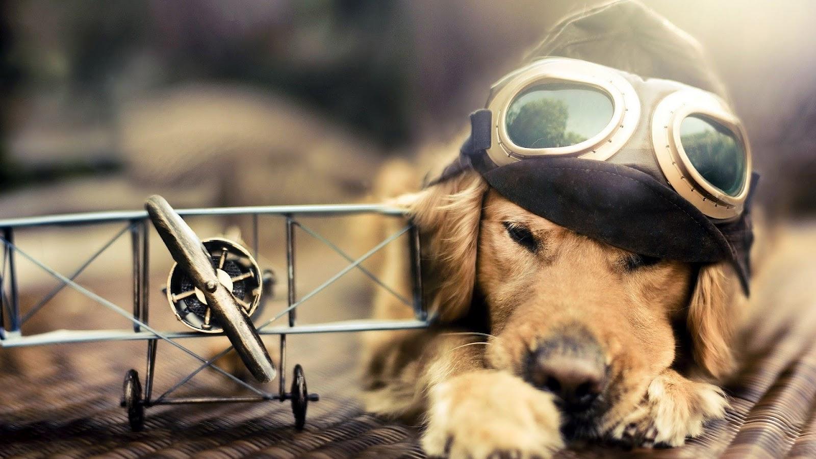 Honden achtergrond met een hond, vliegtuig pet en bril | hd honden