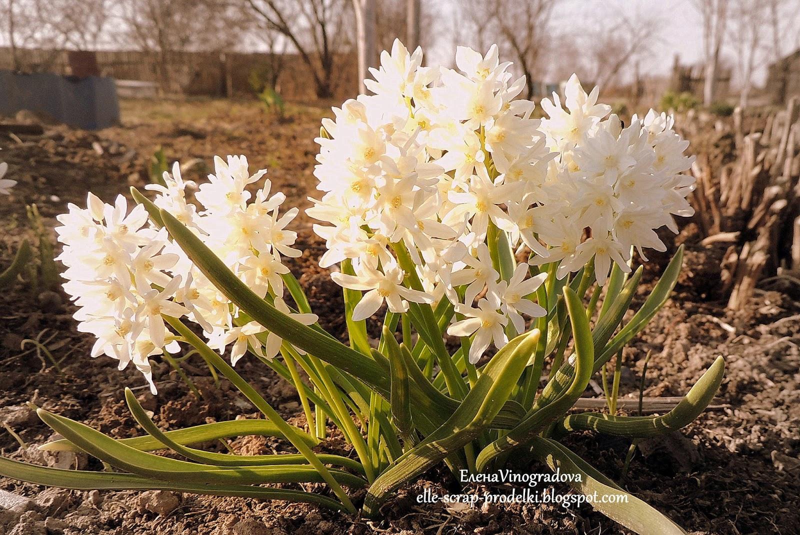 ЕленаVinogradova. Цветы нашего сада #5