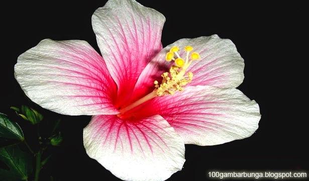 Gambar Bunga Sepatu Berbagai Varietas dari Penjuru Dunia