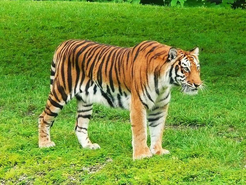 http://id.wikipedia.org/wiki/Berkas:Bengal_Tiger_Miami_MetroZoo.jpg