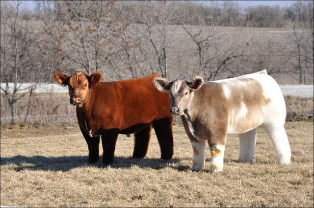 Fluffy Cows – Bovine have Models too